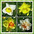 narcissus multi colours shapes
