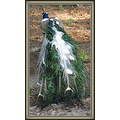 Same bird as in the previous photo.  A mix between a blue and green peafowl and a white one.