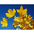 Autumn Leafes Yellow Clear Blue Sky October Skane Sweden