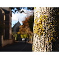 autumn tree oxford lichens
