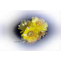 cactus flower bloom Hemet Pankey Wildspirit