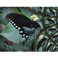 Swallowtail on Lantana flower.......fractal traced into multiple images--a bit distorted!