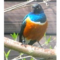 bird coloured blue orange