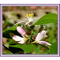 A few frames back, I posted a photo of Navel Orange tree flower buds.  All the various Citrus blo...