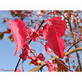 leaf autumn nature plant color red