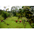 zuiderdam cruise puertolimon costarica farm birds cows field