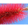 flower sky Crimson Bottlebrush