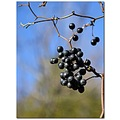 greenbrair berries purple vine nature winter