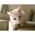 Kuppy cat whitecat kitty Japan