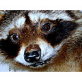 ANIMAL RACCOON
