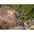 Baby rock rattlesnake waiting for a lizard to come by.
