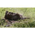 Turkey taking a dust bath!!  It was amazing to watch.  Sorry for the graininess.  She was far bac...