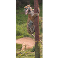 tiger climbing pole for lunch