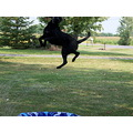 Mandy our black lab trying to catch water