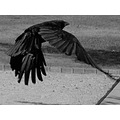 crow flying saffi9