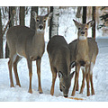 deer whitetaildeer nature animal wildlife