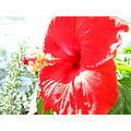 Sun bath red hibiscus