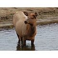 Elk cow moonlighting in the water at yellowstone nature