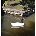 chile blacknecked swan