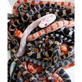 Corn snakes hatchlings babies animal pet repiles Elaphe guttata