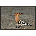 Hoopoe