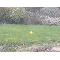 daffodil 2008 January