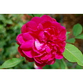 darcey bussell rose flower huntington library san marino california mjghajar