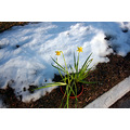 daffodil flower snow