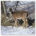 deer snow winter