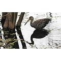bird limpkin reflecton