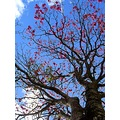 ipe flower pink tree