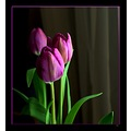 flowers purple tulips