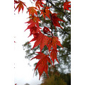 autumn colours acer compautumn07