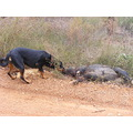 feral pig pest boar wild alien rottweiler dog animal pet family