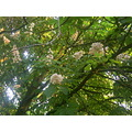 Blossoms Conker Trees