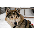 husky finland yllas dog winter