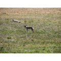 coyote wildlife cattle cow