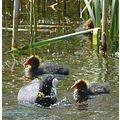 coots young ones