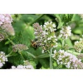 bee mint herbs