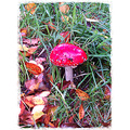 Fly Agaric Mushroom Fungi Laughtacallow Keel Castlemaine Kerry Ireland Peter O