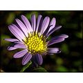 aster wildflower nature