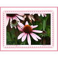 coneflower plant flower coopermountainnaturepark aloha oregon