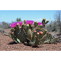 flowering prickly pear cactus
