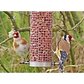 goldfinch pair bird garden wildlife exotic stornoway scotland gardenbird