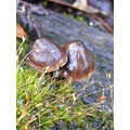 toadstools mushrooms fungi fungus plant nature