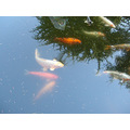 naturefriday koi fish oakland museum omuseumfph pond garden reflections