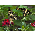 I saw these two tiger swallowtail butterflies in my wife's flower garden and noticed that they se...