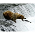 Bear catching Salmon at Brooks Falls