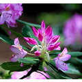 flower pink purple