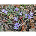 botanical garden park purple purplefph wildflower wildflowers ucbbotfph